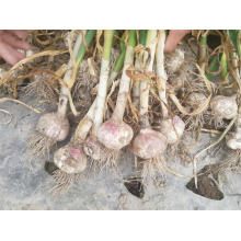 Good Quality New Crop Garlic 2019