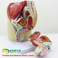 VENDA 12439 Life Size Masculino Seção Anatômica Modelo Anatomia 4 Partes