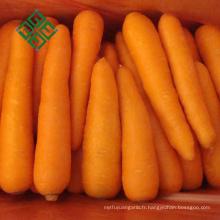 2017 nouvelle carotte de récolte est l'emballage de carottes fraîches