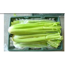 New Crop Export Fresh Good Quality Delicious Celery