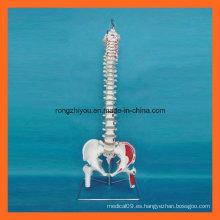 Músculos pintados a mano científicos Modelo humano de la espina dorsal con los jefes del fémur