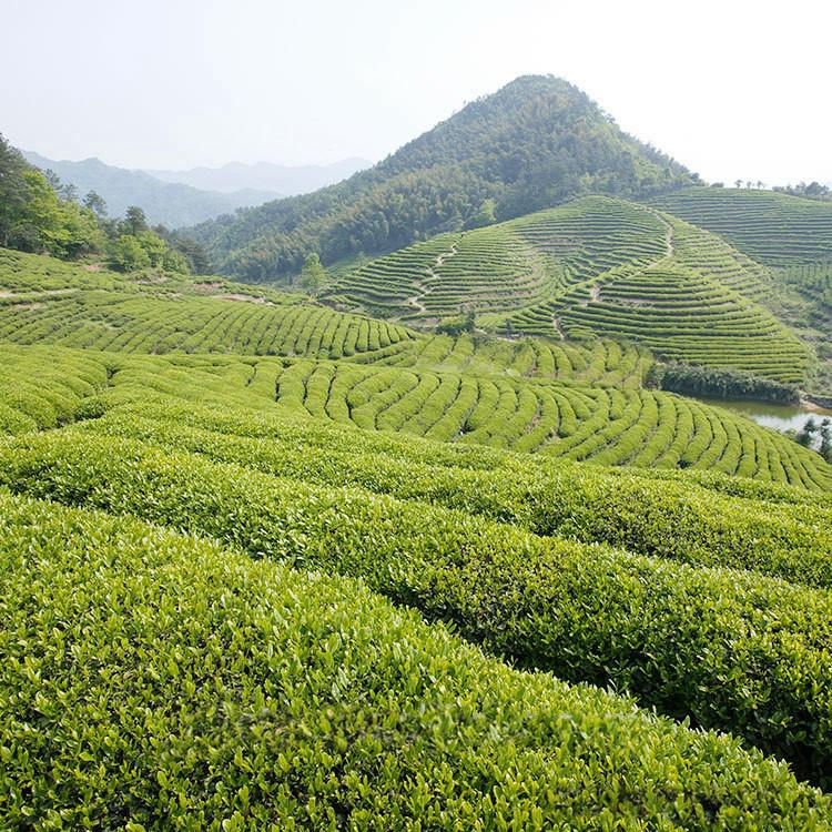 Ycc Green Tea