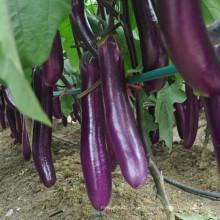 HE18 Jangli graines d'aubergine hybride long violet rouge pour la plantation