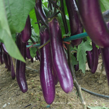 HE18 Jangli long purple red hybrid eggplant seeds for planting