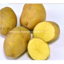 Pomme de terre fraîche chinoise pour l'exportation