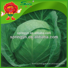 Brands fresh Chinese round cabbage price