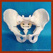 Жизненный размер Анатомическая модель взрослого тазового дна