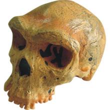 Rhodes West Human Skull Brain Model pour la recherche médicale