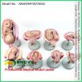 VENDRE 12450 Grossesse Classique 8-Model Series Set, Anatomie Femelle Modèles de Grossesse