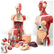 TORSO05 (12016) Science médicale 85cm 29 pièces modèle de torse humain pleine grandeur avec la moitié des muscles et des organes de corps