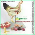 Оптовая ветеринарная модель 12009 медицинский анатомическая модель 8 частей курицы