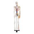 85cm Skeleton with Nerves and Blood Vessels