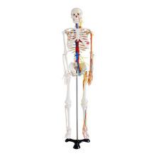 Esqueleto de 85cm com nervos e vasos sanguíneos