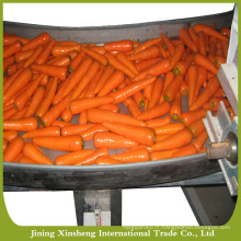 Nouvelle carotte fraîche de haute qualité en vente