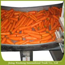 Nova cenoura fresca de alta qualidade à venda