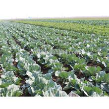 nuevo cultivo de coliflor vegetal con certificado