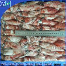 scientific name squid loligo chinensis