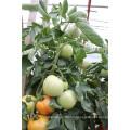 Suntoday a déterminé la plantation de noms scientifiques de graines de tomates chinoises hybrides végétales F1 (22021)