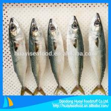 China Origin Frozen Mackerel Fish 200-300g