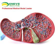 VISCERA07(12544) медицинские науки человеческой печени модель для обучения