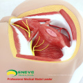SELL 12463 Life Size Anatomy Biology Education Male Perineum Medical Model