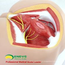 VENDRE 12463 la taille de la vie anatomie biologie éducation mâle modèle médical périnée