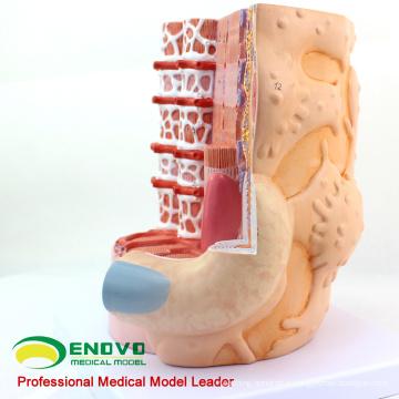 HEART20(12495) Skeletal Muscle Fibers Anatomical Medical Science Education Model
