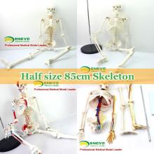 Anatomia de esqueleto humana plástica dos modelos de ensino com modelo dos nervos