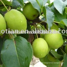 Shandong Birnen große Größen