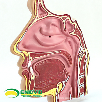 THROAT04-1(12509) Anatomy Nose Nasal Cavity Anatomical Model