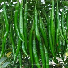 HP01 Qianman long F1 hybride piment / graines de piment dans les graines de légumes