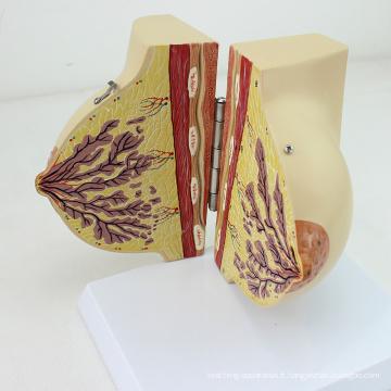 ANATOMY21 (12459) Modèle de section de la poitrine chez la femme en période de repos, 2 parties, modèles d'anatomie> Stade de repos