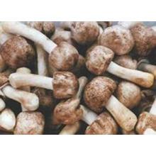 Fornecimento de Fábrica Diretamente 100% Natural Agaricus Blazei Murrill Extrato
