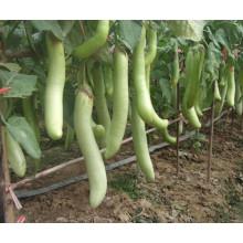 HE05 Sexiang longues graines d'aubergines hybrides vertes