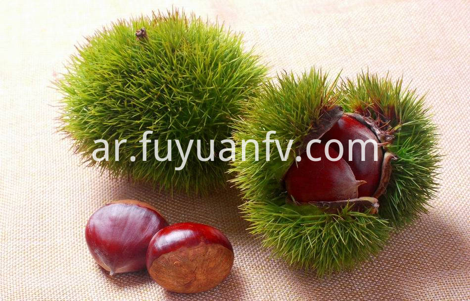 Fresh Chestnut 23