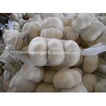 Snow white fresh garlic