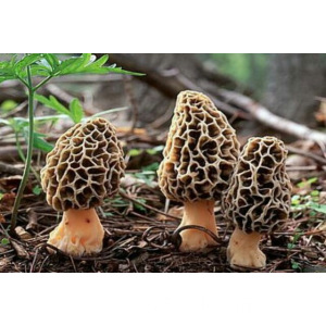 Seta de Morel Chino / Morel Seco / Morchella Conica