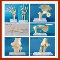 Modelo esquelético de la articulación de la cadera de la simulación anatómica humana para la enseñanza médica