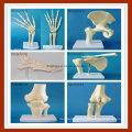 Human Anatomical Simulation Hip Joint Skeleton Model for Medical Teaching
