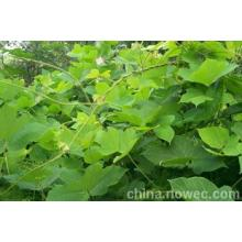 5: 1, 10: 1 Indigowoad Root Extract