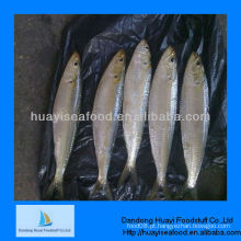 Alta qualidade de sardinha fresca congelada