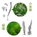 Extracto de hierba Eufrasia 100% natural 10: 1