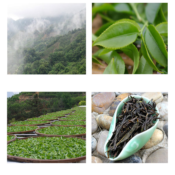Oolong tea plant area