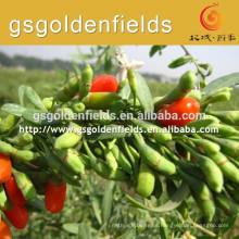 el tamaño de QIYU-1 tiene plántulas de goji berry de alta producción