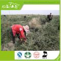 Neue Ankunft hochwertige Großhandel getrocknete schwarze chinesische wolfberry