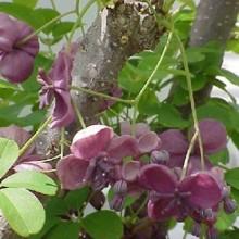 Caulis Akebiae Extract