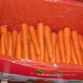 Nova Colheita de Boa Qualidade Cenoura Fresca