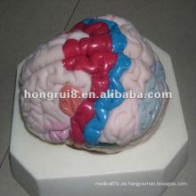 Modelo humano de la corteza cerebral de la ISO, modelo de la anatomía del cerebro