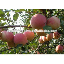 new crop fresh Fuji apple
