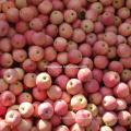 Fournisseur régulier de pomme rouge Qinguan frais